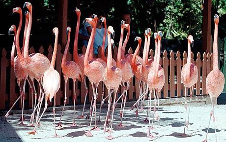 nassau flamingos